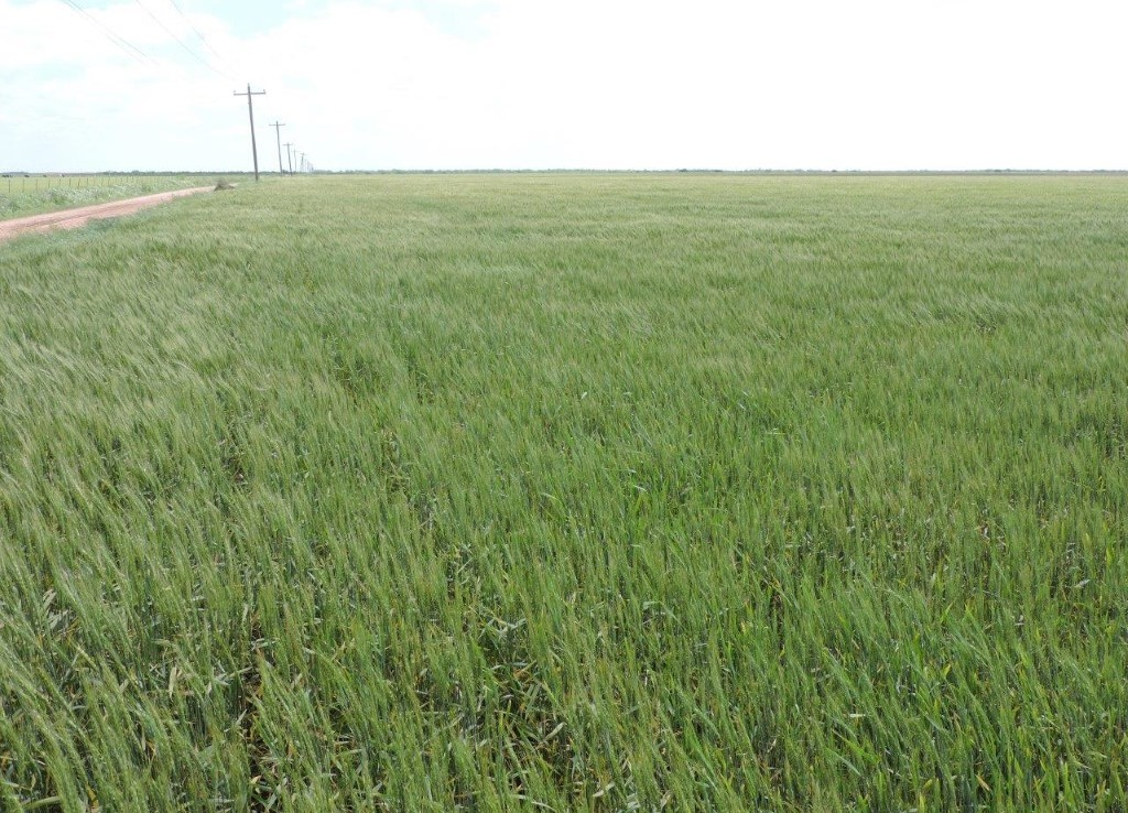 273 acres in Wilbarger County